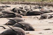 নিউজিল্যান্ডের সৈকতে আটকা পড়া ১০০ তিমির মৃত্যু