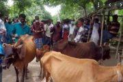 নিষেধাজ্ঞা অমান্য করে পটুয়াখালীতে বসছে পশুর হাট