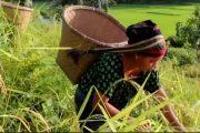 রাঙামাটিতে ধান কাটার উৎসব